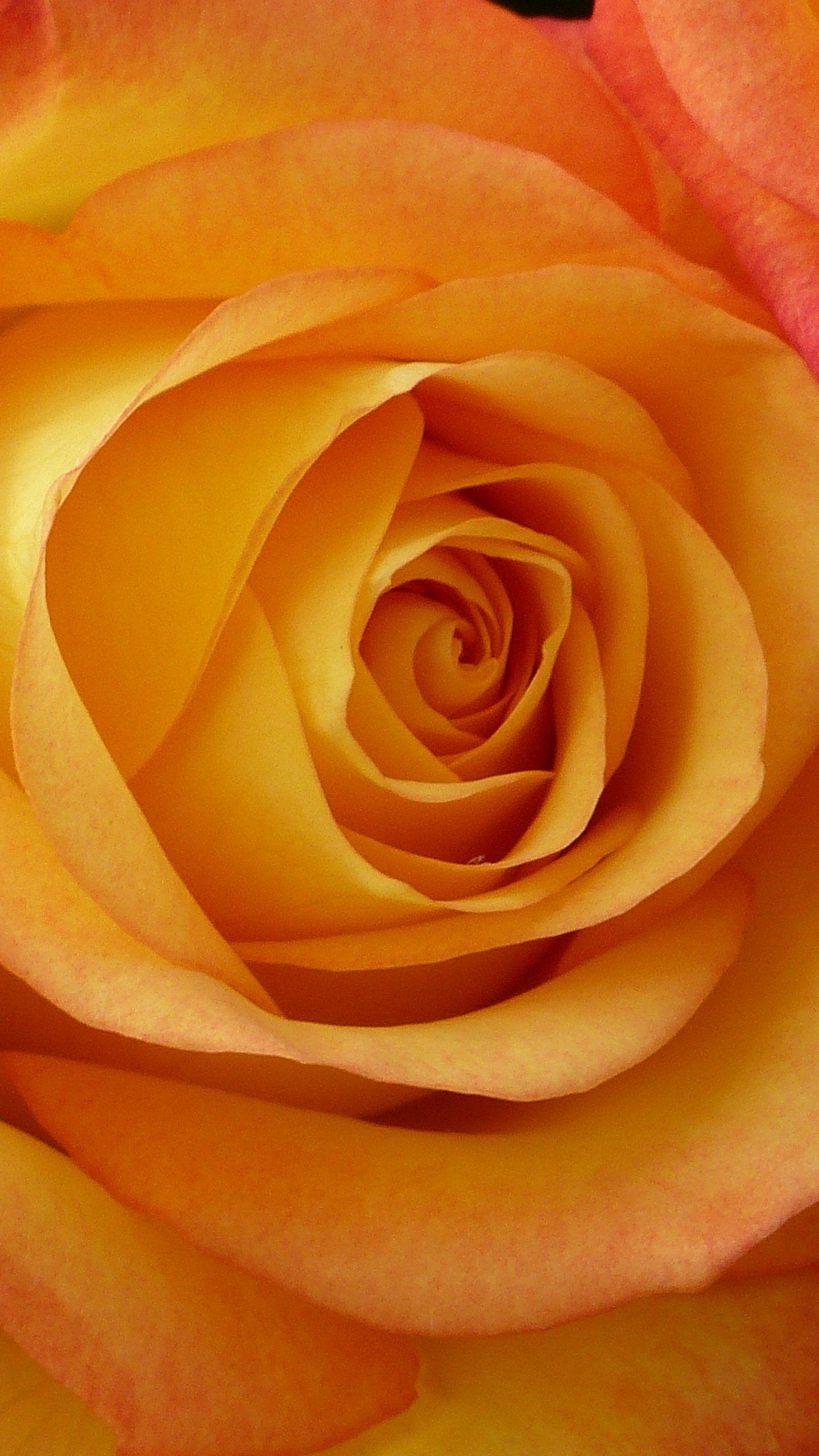Peach Rose Wallpaper Iphone Android Desktop Backgrounds Peach Roses Rose Wallpaper Flower Wallpaper
