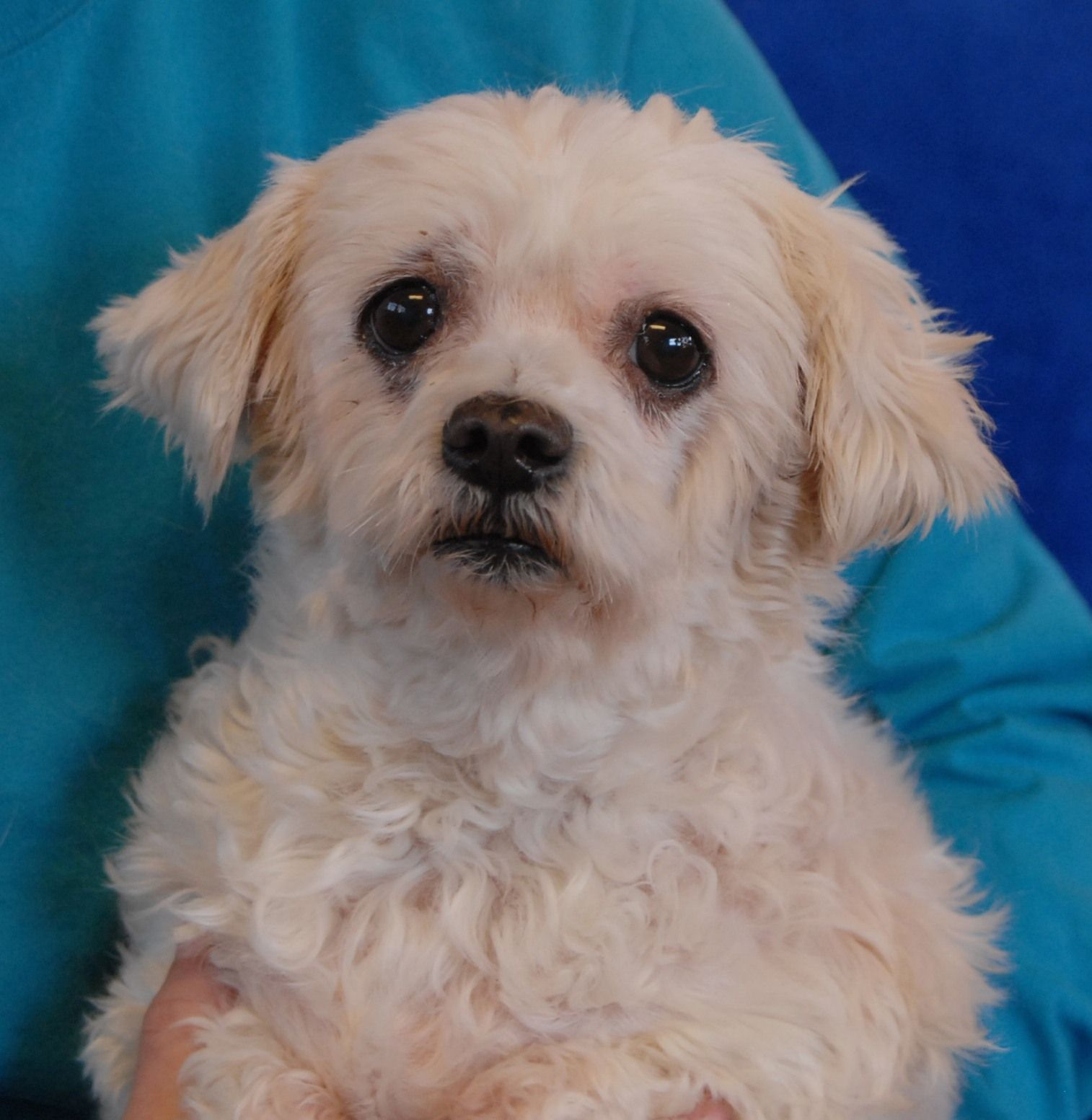 Susie's previous owner died and she had nowhere to go.  She is understandably confused and depressed, though volunteers and staff are comforting her and reassuring her that she is safe and will find love again.  Susie is a Malti-Poo (Maltese & Poodle mix), spayed girl, about 6 years of age, debuting for adoption today at Christmas Eve at Nevada SPCA (www.nevadaspca.org).  Susie is good with other dogs and reportedly housetrained.  Please visit and ask for her by name.