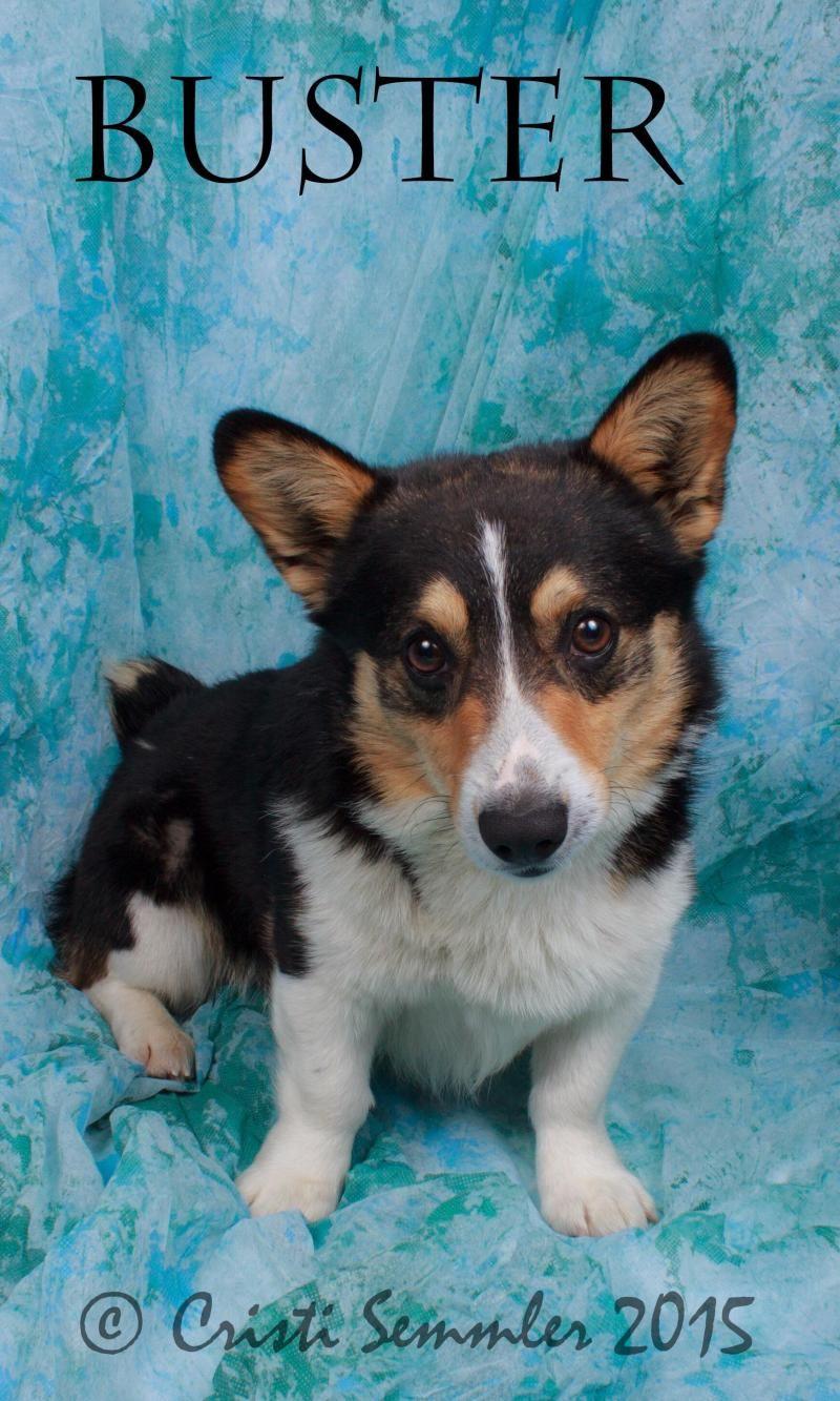 Adopt Buster On Corgi Dog Corgi Dogs