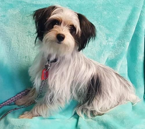Coton De Tulear Dog For Adoption In Brooklyn Park Mn Adn 558671