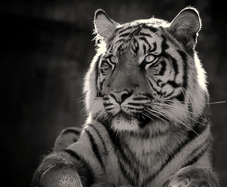 Untitled Tiger Images Tiger Wallpaper White Tiger