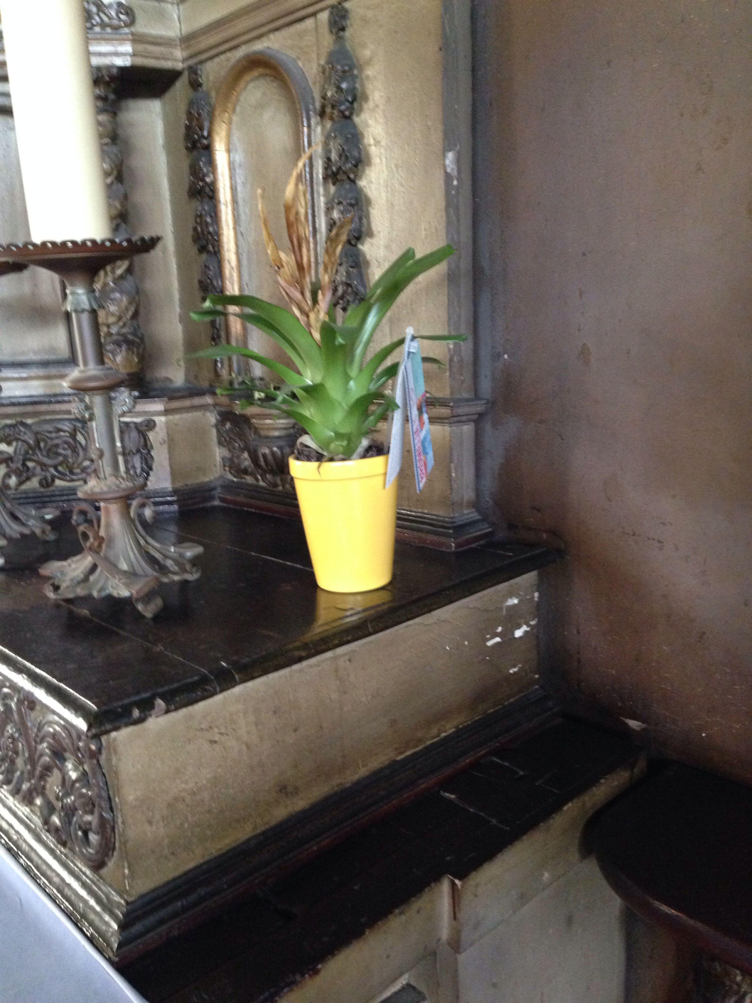 """Bromelia plant, van Nederlandse bodem. gespot in de oude kerk van de Franse havenstad Honfleur. Tijdens vakantie houden we gewoon onze ogen open en spotten bloemen en planten. """"Deze bromelia heeft zijn beste tijd gehad; de kleur combinatie pot/plant blijft wel de aandacht trekken"""" ~ Jacqueline"""