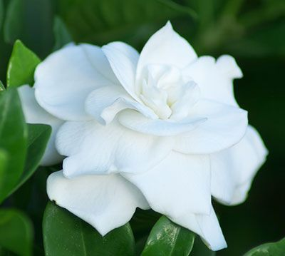 Q My Gardenia Is Not Doing Well And I Am Thinking The Soil Ph