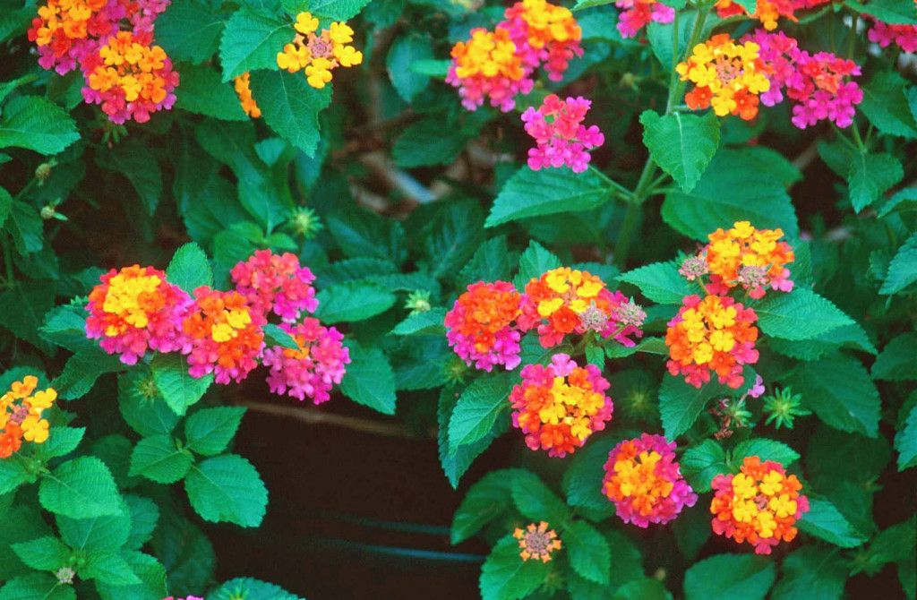 Ground Covering Mama S Garden Center Hanging Flower Baskets Most Beautiful Flowers Lantana