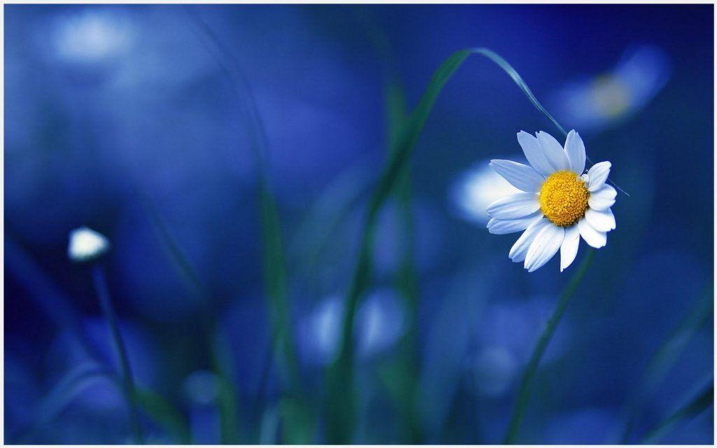 Chamomile White Flower Blur Background Chamomile White Flower Blur Background Deskto Flower Background Iphone Flower Backgrounds Beautiful Flowers Wallpapers Blur flower background images hd