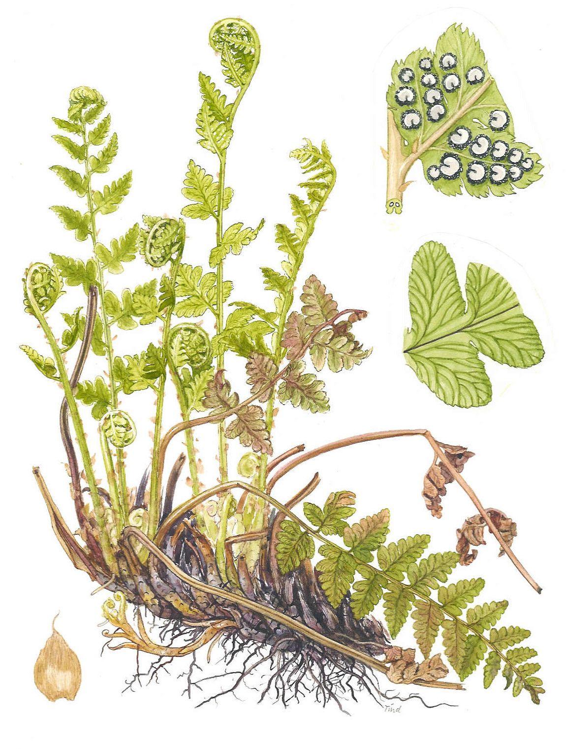 ferns - Google Search | Botanical Illustration | Pinterest | Fern ...