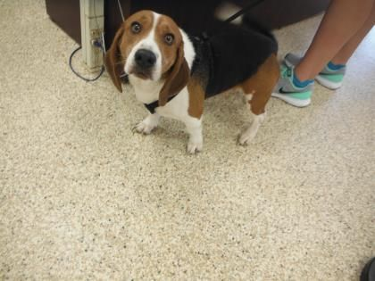Adopt Mason On Beagle Dog Adoptable Beagle Pet Care
