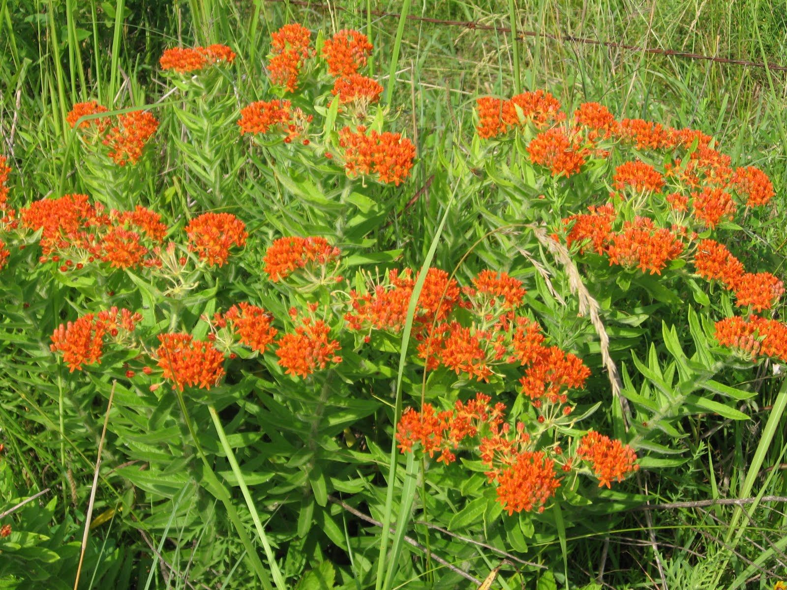 Natives Butterfly Weed Asclepias Tuberosa True To Its Name