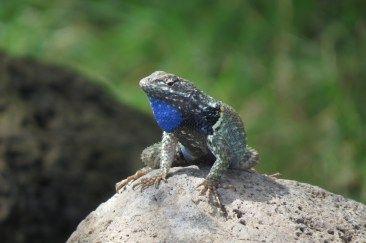 lizard in jocotopec