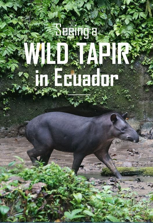 Ever wanted to see a wild Tapir in its natural habitat? Here is how I encountered one in Yasuni National Park in the Amazon Rain forest of Ecuador.