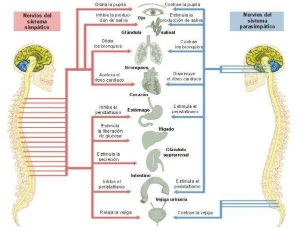 El Sistema Simpatico Parasimpatico Sistema Nervioso Nervioso Sistema Nervioso Autonomo