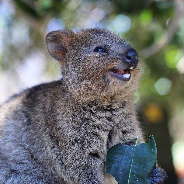 Quokkas Are The Happiest Animals In The World | Quokka ...