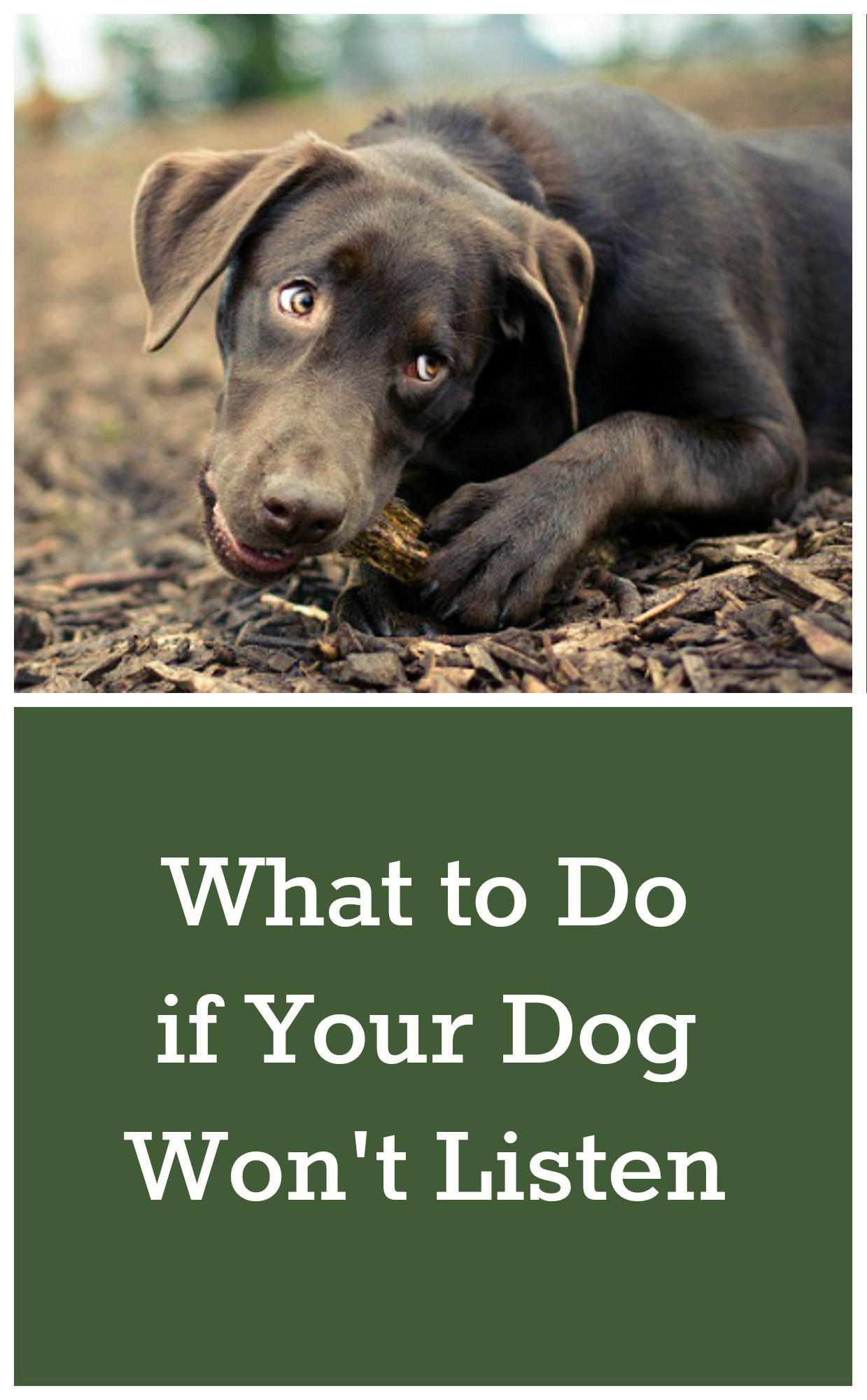 What To Do If Your Dog Won T Listen Dog Training Dog Training