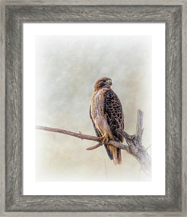 Red Tailed Hawk Portrait Framed Print By Debra Martz Fine Art Framed Prints Portrait Frame