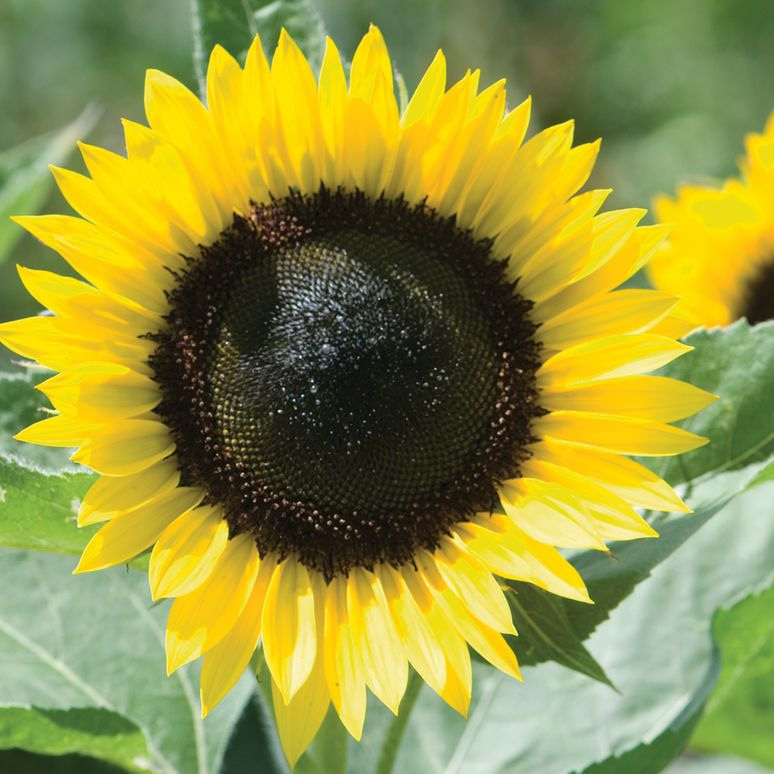 Sunflower With Heart Shaped Center Strategically Harvested Seeds Sunflower Hearts Sunflower Flowers