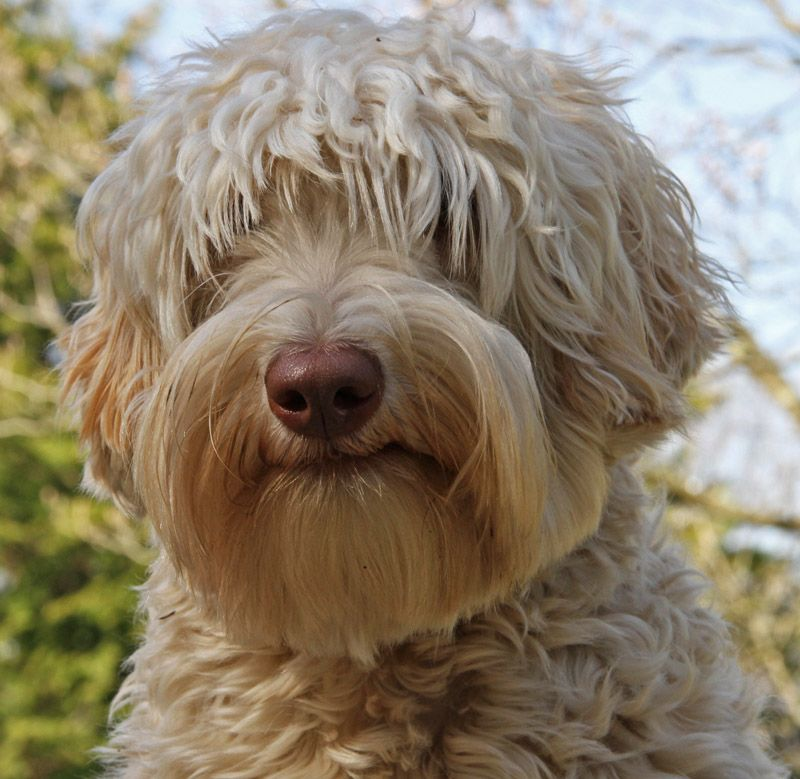 Red goldendoodle puppies for sale uk