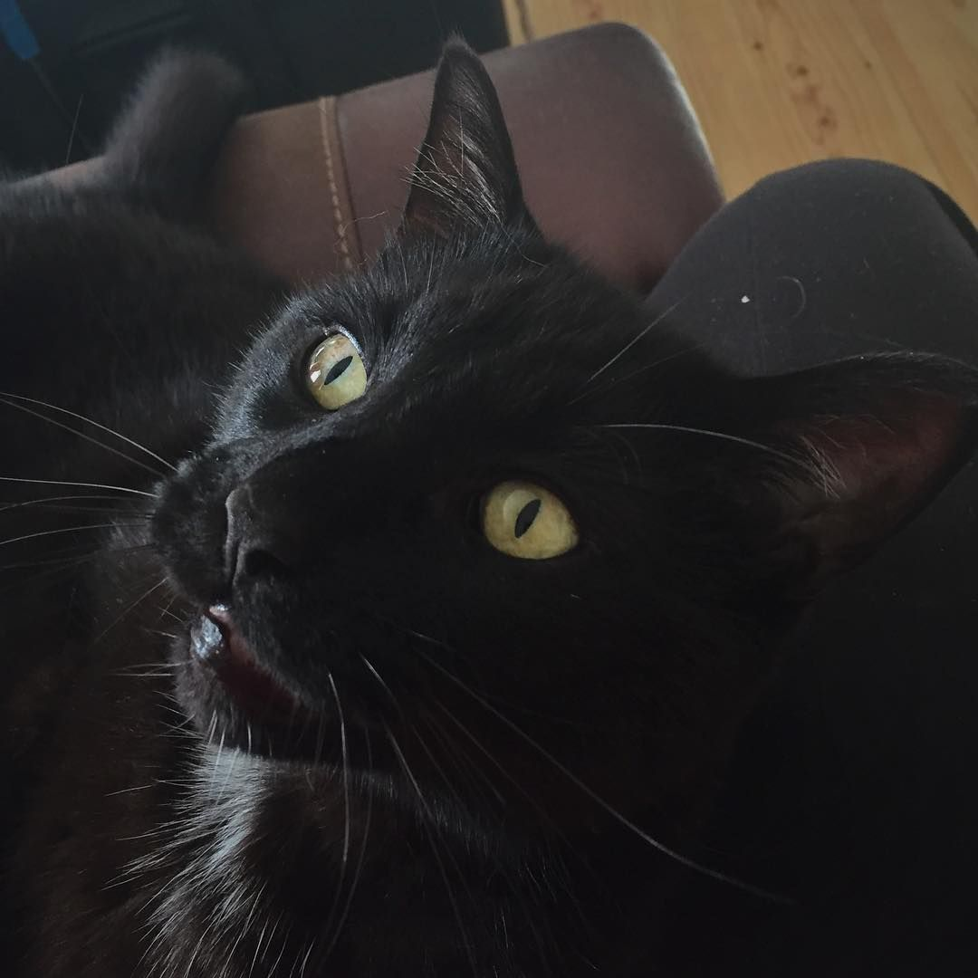 The Daily Game Of Catch The Ribbon Has Commenced On My Lap And He Immediately Turns Back Into A 4 Month Old Kit 4 Month Old Kitten Kitten Beautiful Creatures