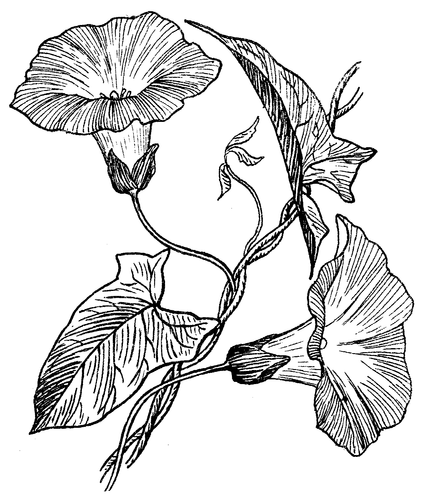 Vines Flower Morning Drawing Glory