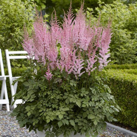 Flower Garden For Dummies: Astilbe Chinensis Mighty Joe. Reaches A Tall 3 Feet With