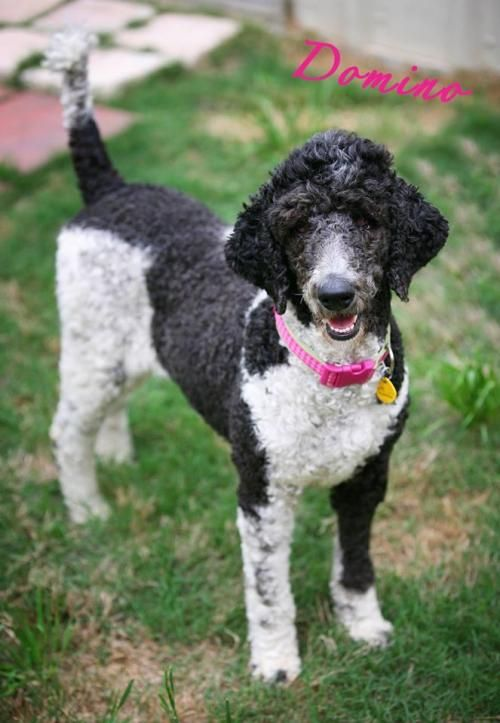 Meet Domino! Domino's only 2 years old ‪‎Poodle‬ pup.She