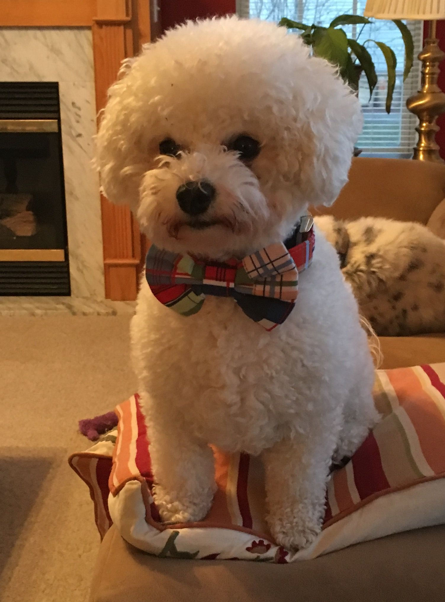 Winston On His 2nd Birthday Bichon Dog Super Cute Puppies Cute