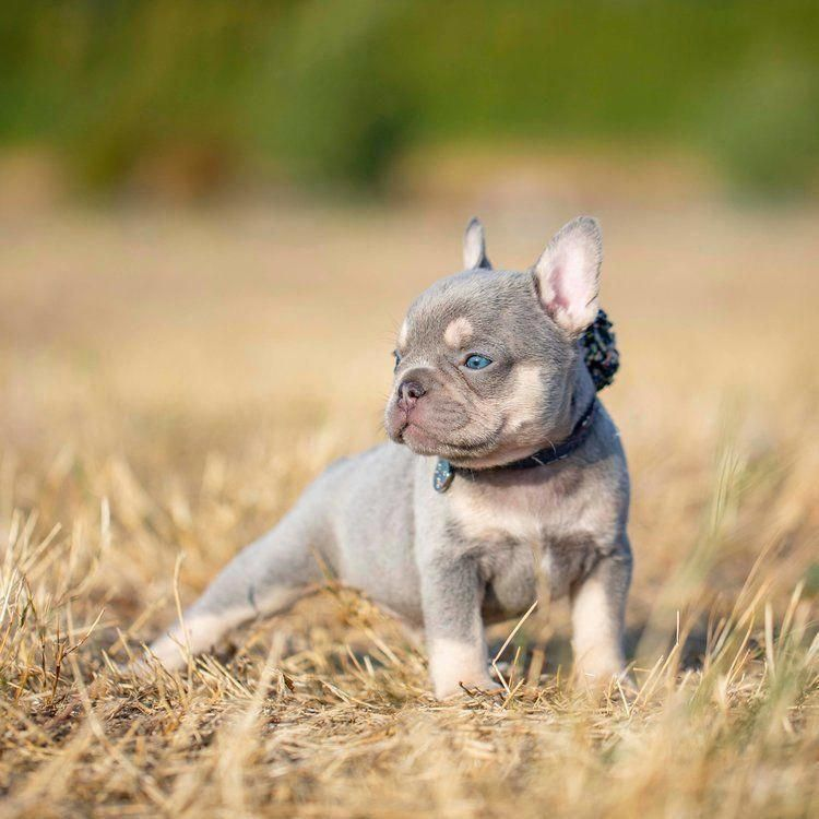 Everything About The Playful French Bulldog Temperament