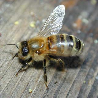 Here Are Some Fun Facts About Winter Bees Temperatures When Winter Cluster Forms 57f Workers Can T Fly 50f Bee Cluster Dies Minus 40f Bee Bee Keeping