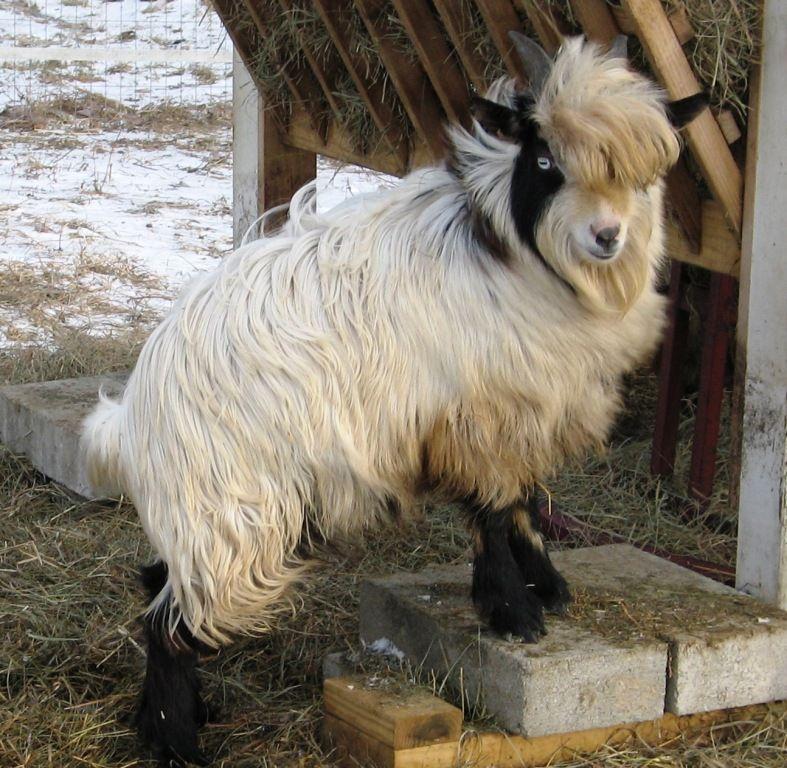 Mulberry Meadow Mini Silkies Elwell, Michigan Cute goats