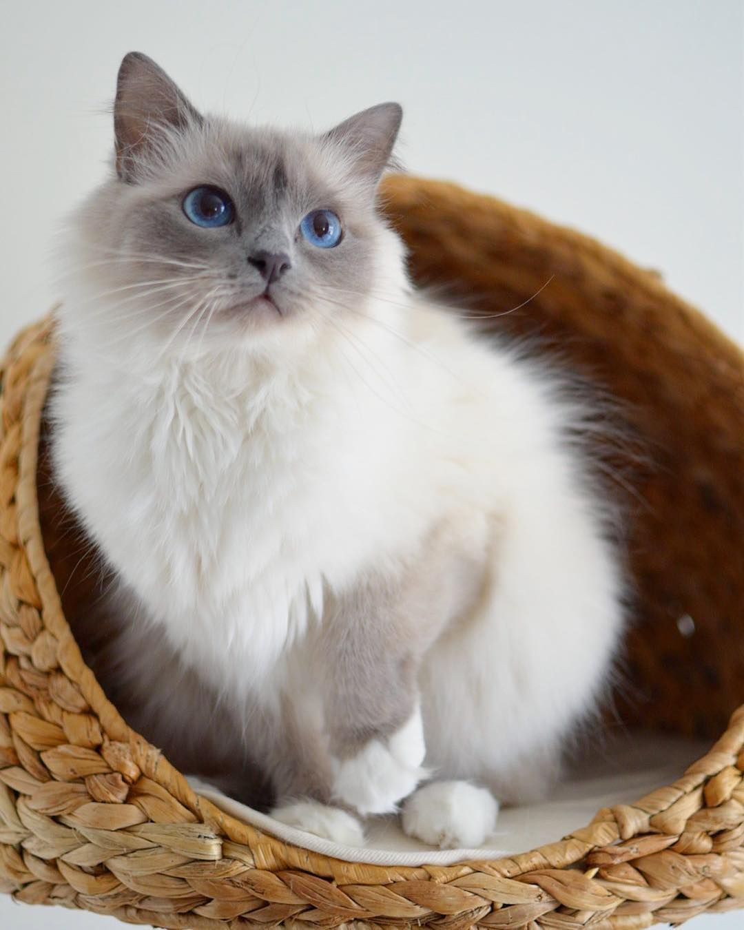 Pin By Marcelle Uy On Kayla Sona Pomsky Siberian Cat Gorgeous Cats Pretty Cats Cute Cats