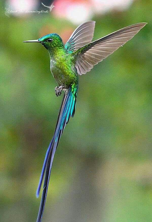Картинка птицы колибри