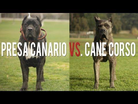 Presa Canario Vs Cane Corso Battle Of The Ultimate Catch Dog Socal