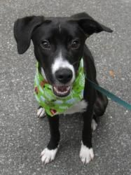 Mabel Is An Adoptable Labrador Retriever Dog In Gainesville Fl