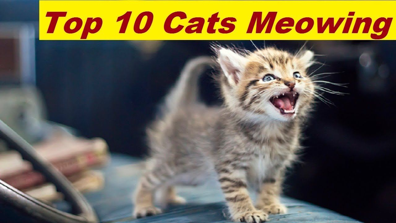 top 10 funny cats and kittens meowing compilation 2017 funny cat