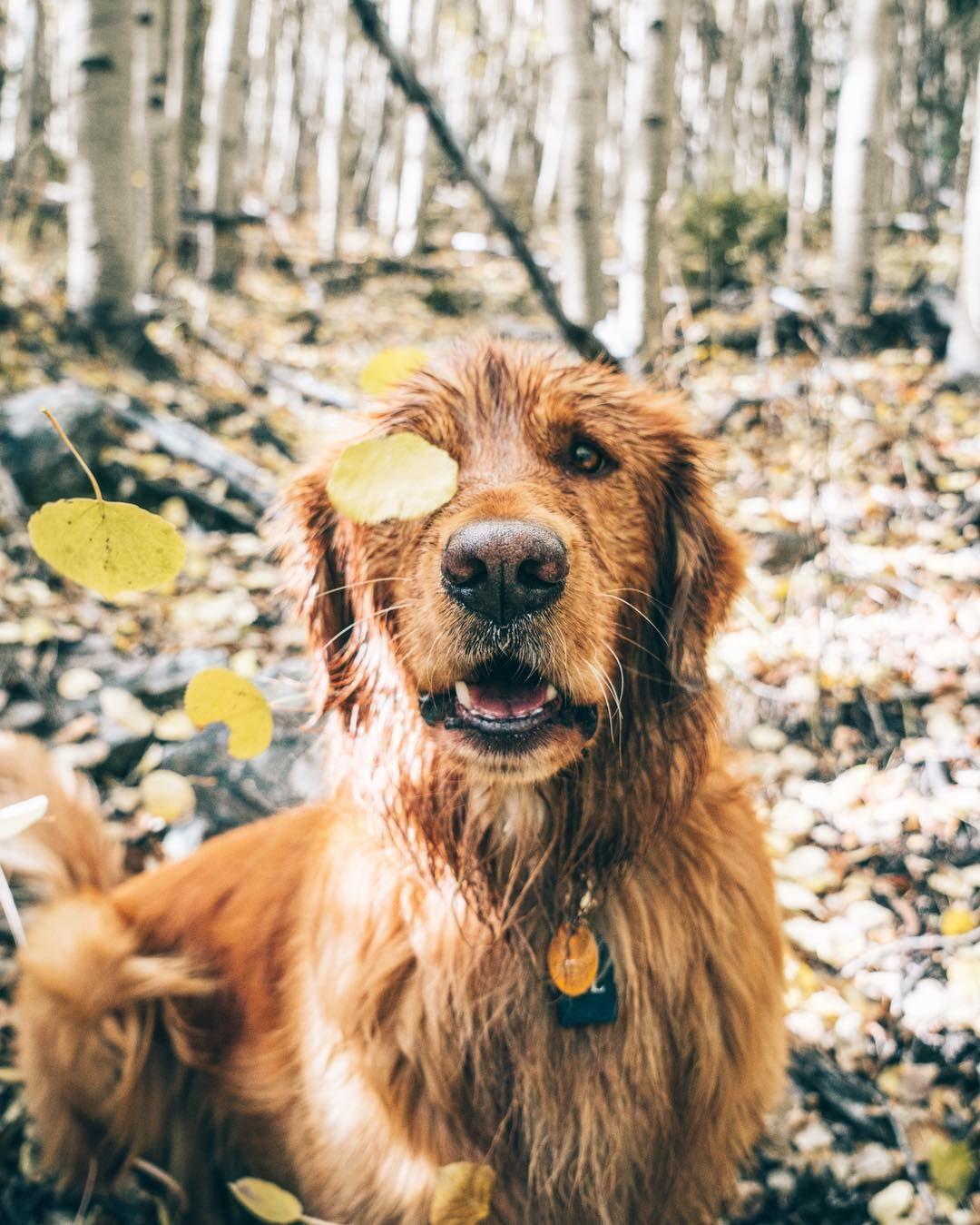 Aspen the mountain pup trip golden retriever golden