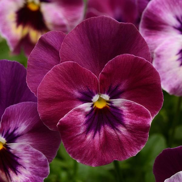 Viola Cool Wave Purple A Pansy With Rich Purple Coloration Pansies Flowers Pansies Annual Bedding Plants