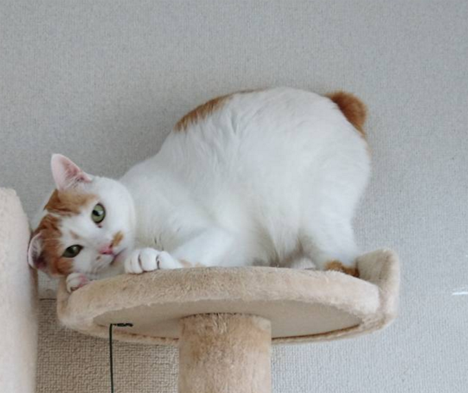 Japanese Bobtail Cat Breed Information Pictures Characteristics