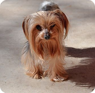 Granbury Tx Yorkie Yorkshire Terrier Meet Chester A Dog For
