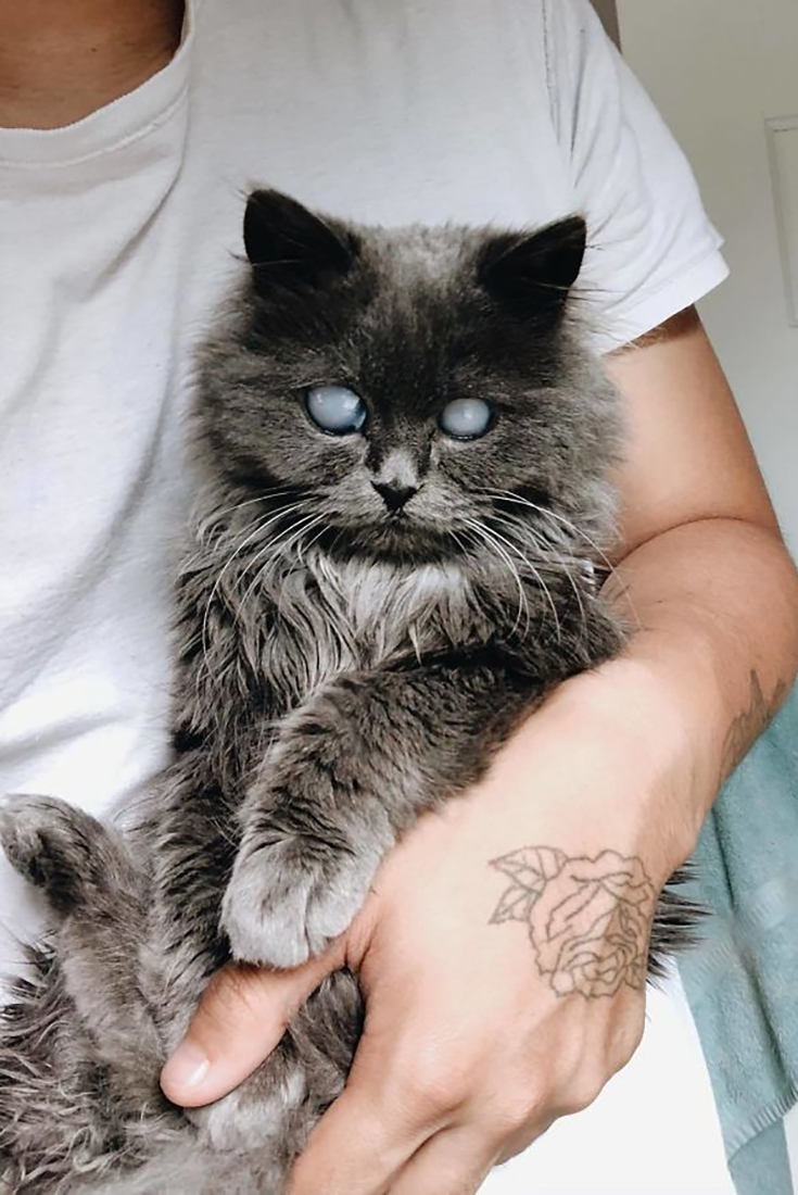 Beautiful Munchkin And Persian Cat Mix That Is Blind Persian Cat