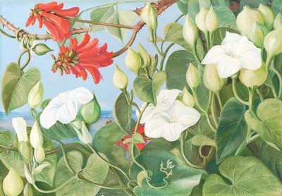 354. White Convolvulus and Kaffirboom, painted at Durban, Natal by  Marianne North