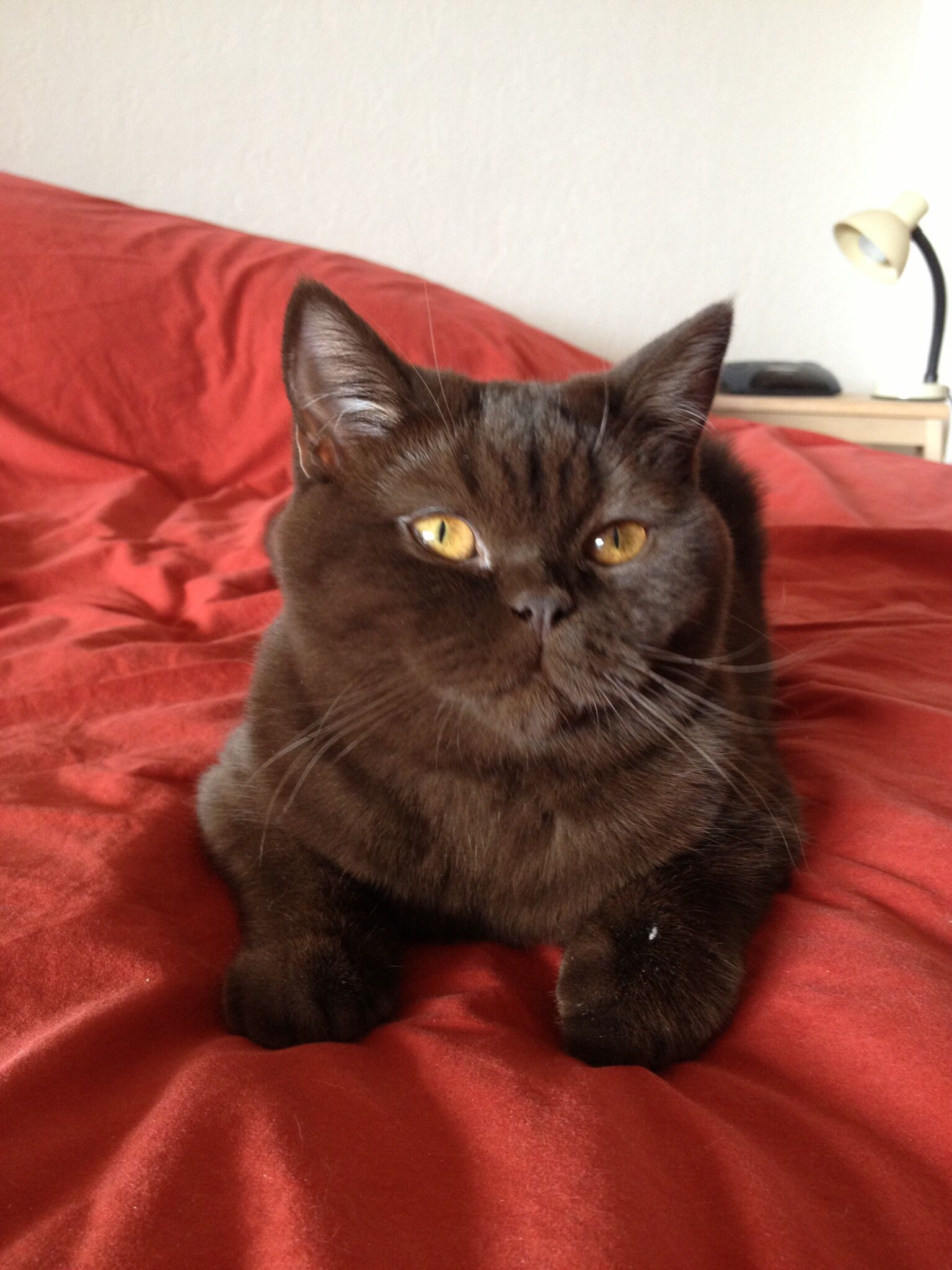Hermione British Shorthair Chocolate British Shorthair Kitten British Shorthair Cats Cat Love Brown Cat