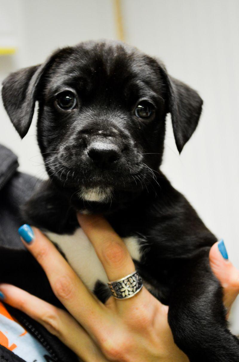 Adopt SW Chunks on Boxer lab mixes, Boxer puppies, Boxer lab