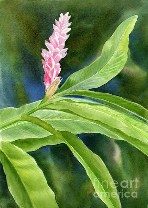 Pink Ginger Flower By Sharon Freeman In 2020 Ginger Flower Watercolor Flowers Paintings Pink Ginger
