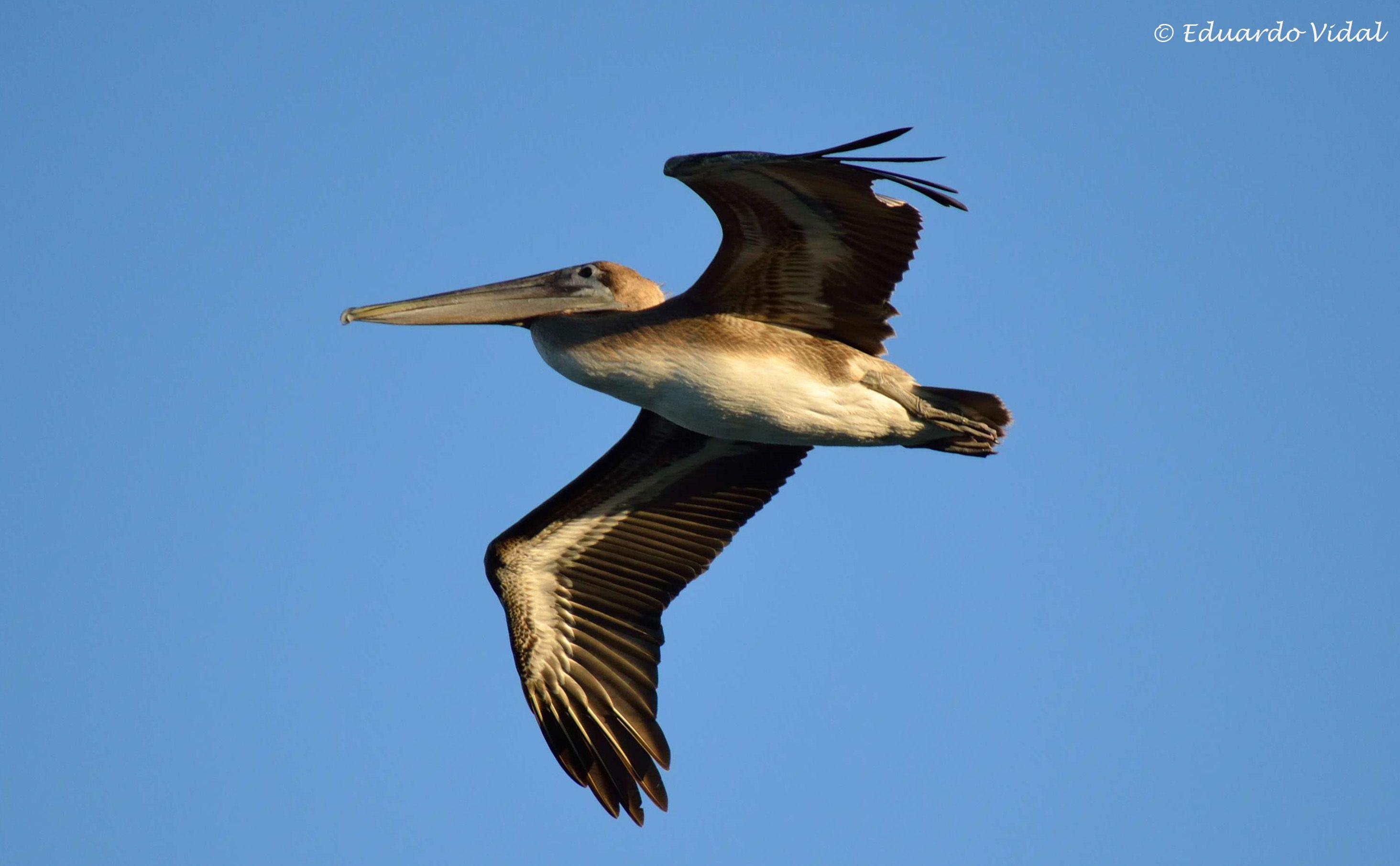 Pelicano volando 1 (Riviera Maya)