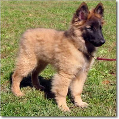 The Belgian Tervuren Dog I Ve Wanted But Haven T Had The Space