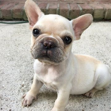 French Bulldog Puppy For Sale In League City Tx Adn 33730 On