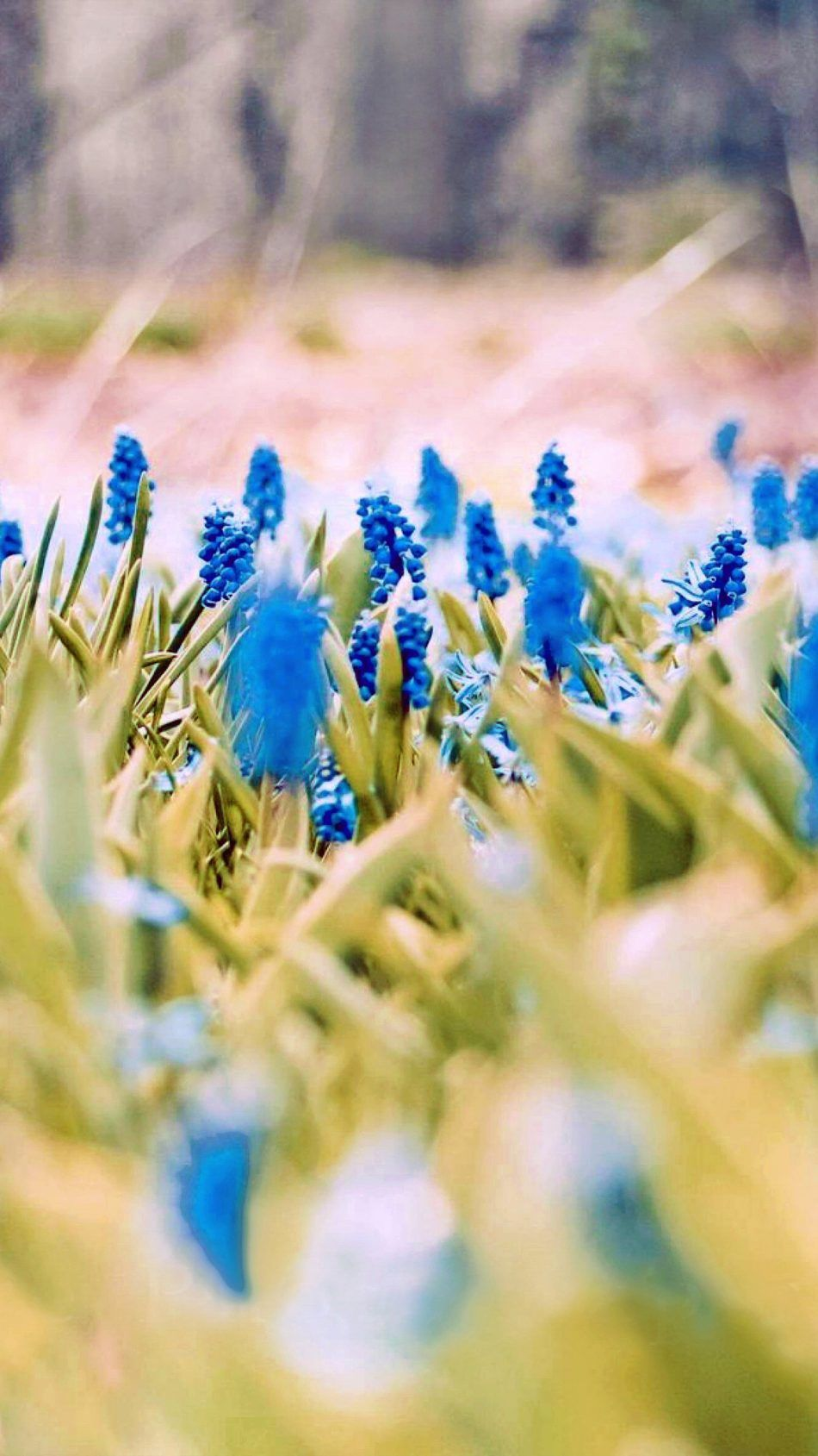 Blue Flowers Spring Nature Wallpapers Blue Flowers