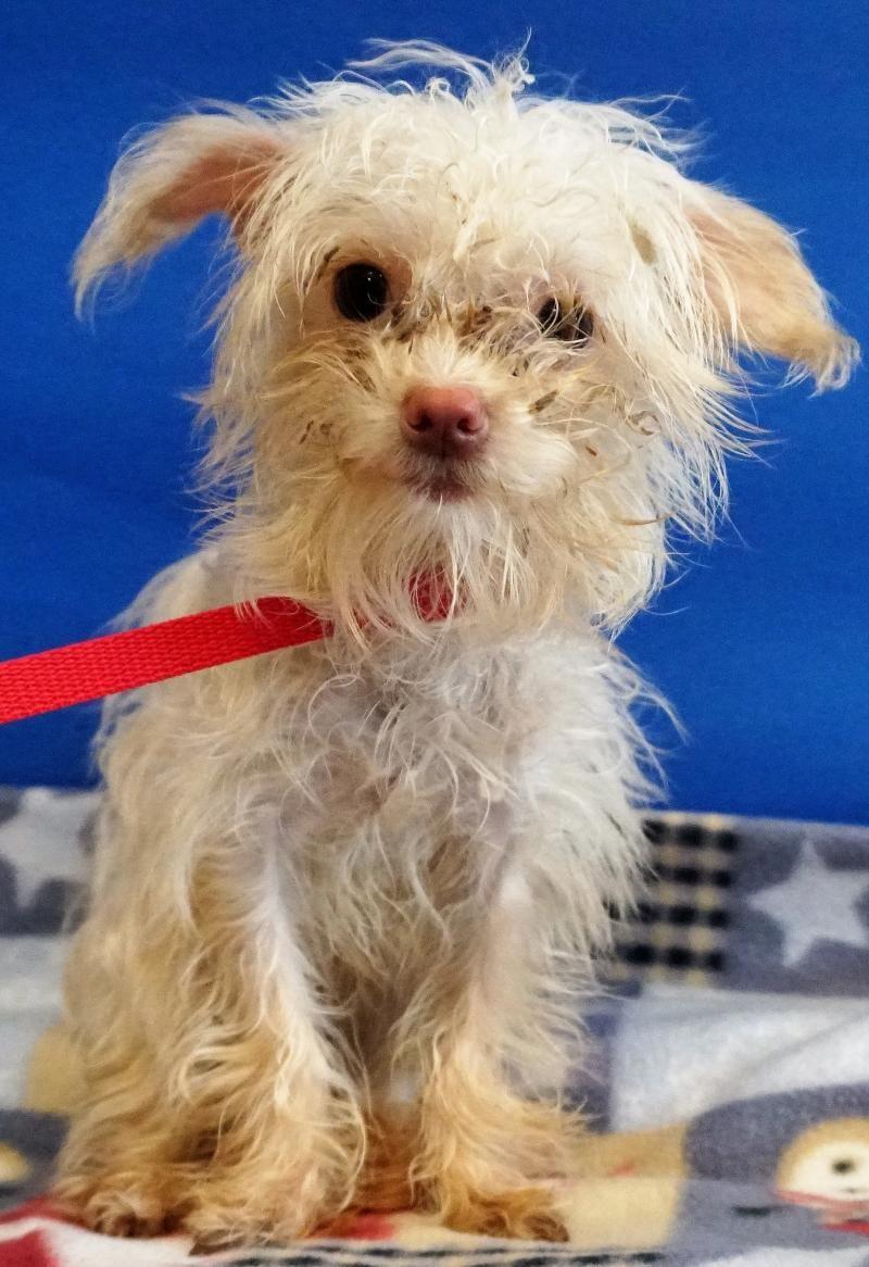 Adopt BITSY PS on Pets, Maltese, Adoption