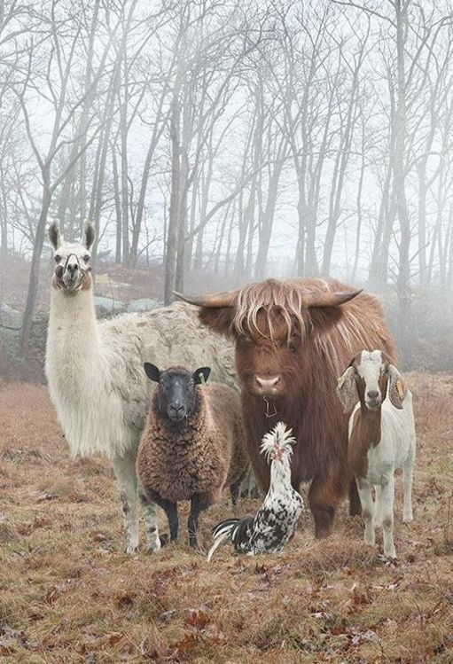 Goat & Other Farm Animals this picture would be so cute framed on a wall in a hallway or mudroom of a farmhouse