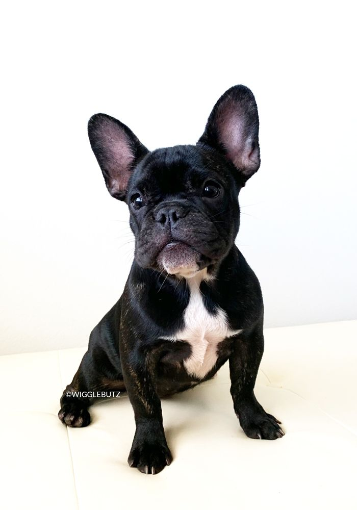 French Bulldog Puppies For Sale Bulldog puppies, French