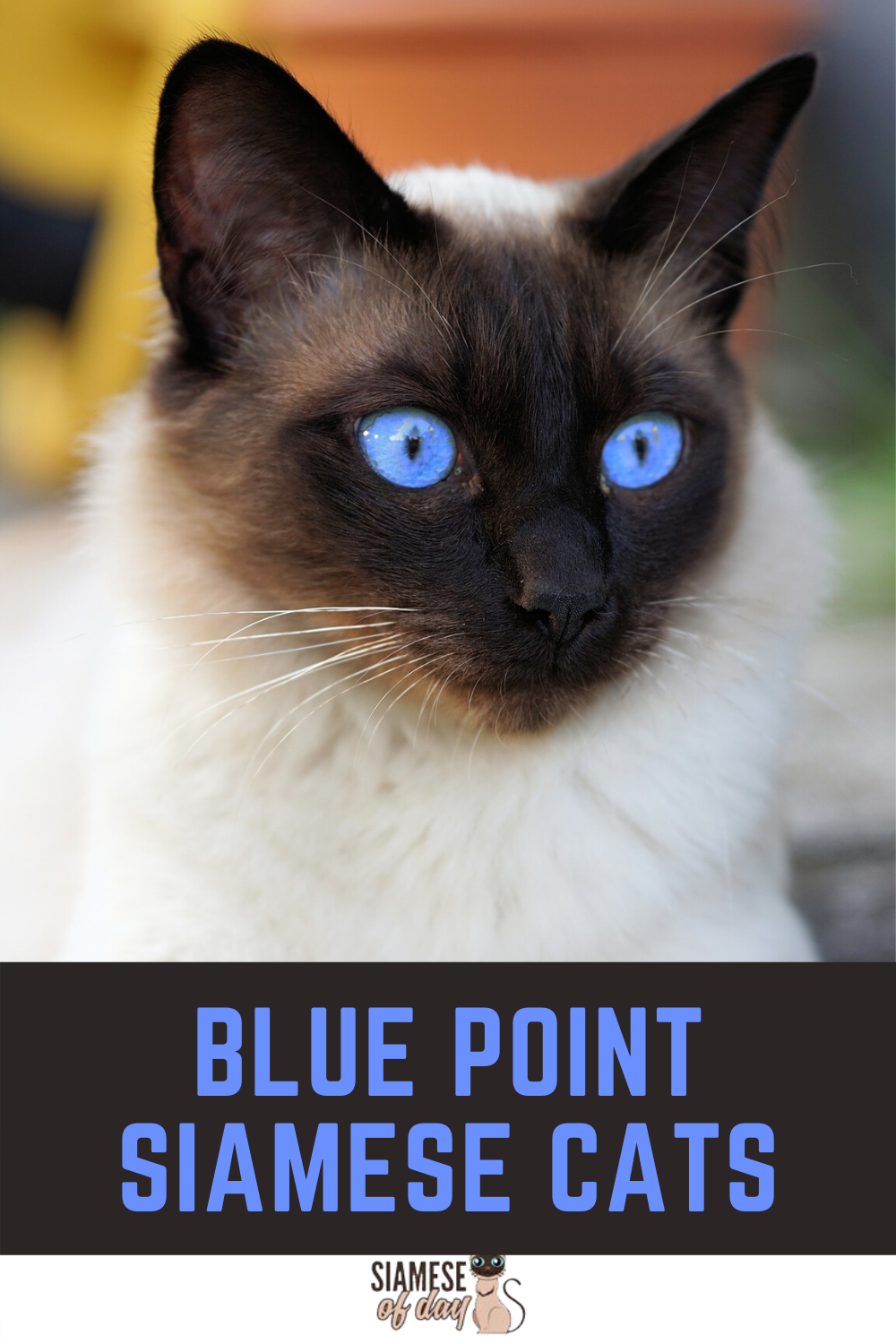Blue Point Siamese Cats In 2020